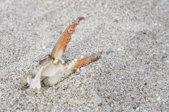 A crab claw on sand. A colored crab claw found on the beach stock photo