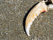 Crab claw in the sand Royalty Free Stock Photo