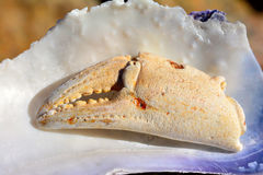Crab claw Royalty Free Stock Photos
