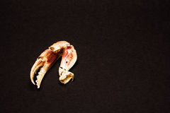 Crab claws Royalty Free Stock Images