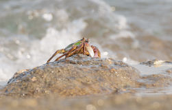 The crab climbing up the rock Royalty Free Stock Image