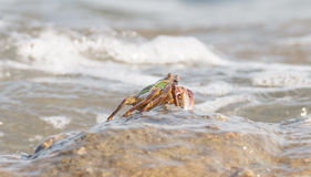 The crab climbing up the rock Royalty Free Stock Images