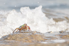 The crab climbing up the rock Stock Images