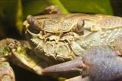 Crab close up Stock Image
