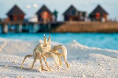 Crab close up standing on tropical sunset beach over watervillas on background stock photos