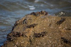 Crab closeup, Black Sea crabs, crabs life Royalty Free Stock Photos