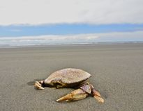 Crab on coast. Crab found along the the Oregon Coast Royalty Free Stock Photos