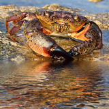 Crab on coastal rocks Royalty Free Stock Photos