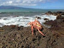 Crab on the coastline of Maui. Red crab on the rocky coastline on Maui island, Hawaii, U.S.A Stock Images