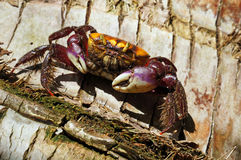 Crab on a coconut tree trunk Royalty Free Stock Photo