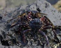 Crab combat Stock Image