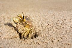 A crab coming out of the den carved into the sand stock images