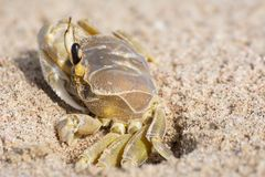 A crab coming out of the den carved into the sand royalty free stock image
