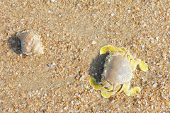 Crab and conch. A yellow crab( Scientific name: Matuta planipes) and a conch at sandbeach Royalty Free Stock Images