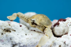 Crab with coral. On blue background Royalty Free Stock Photo