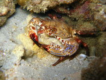 Crab in coral reef. Close up of camouflaged crab in coral reef Stock Photography