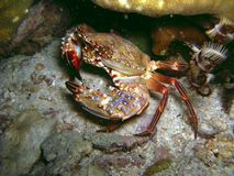 Crab on coral reef Royalty Free Stock Photography