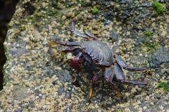 Crab. Crab Grapsus adscensionis. Playa de Arinaga. Agüimes. Gran Canaria. Canary Islands. Spain Stock Photography