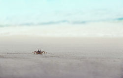 Crab. Crawling on the beach near the ocean Royalty Free Stock Photo