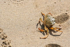 Crab crawling on the beach Royalty Free Stock Image