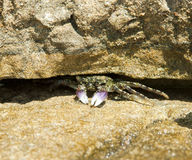 Crab in a crevice Royalty Free Stock Images