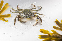 Crab, crustacean, claw, seafood, food, one animal, studio. Appetizing  green crab on wet polish silver background in studio. Copy space and minimalist still life Royalty Free Stock Images