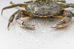 Crab, crustacean, open claws, seafood, food, one animal, studio. Closeup of one delicious green crab on wet polish silver background in studio. Modern still life Royalty Free Stock Photography