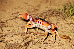 Crab. A crab is defending of my camera on Tocópero Beach, Falcon State, Venezuela Stock Photo