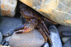 Crab defending from under stone on the sea shore Royalty Free Stock Photography
