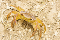 Crab in the desert Royalty Free Stock Image
