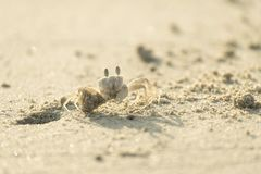 Crab are digging a hole. Ghost crab carrying sand out of the hole Royalty Free Stock Photography