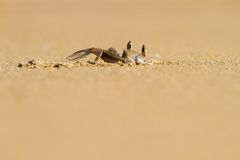Crab digging hole in the sand Stock Photo