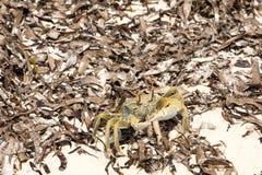 Crab in dry algae on the coast, north of Madagascar Stock Image
