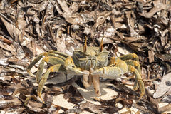 Crab in dry algae on the coast, north of Madagascar Stock Photography