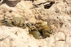 Crab in dry algae on the coast, north of Madagascar Stock Photo