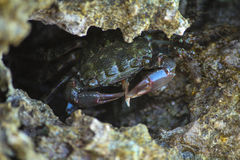 Crab eat Royalty Free Stock Image