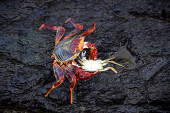 Crab eating another crab Royalty Free Stock Photo