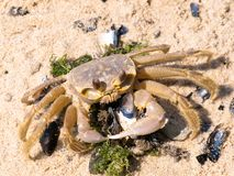 Crab eating clam Royalty Free Stock Photos