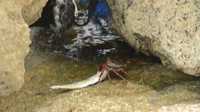 Crab eating fish stock footage