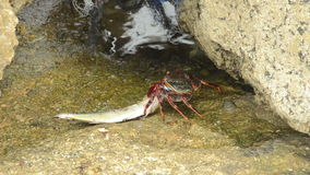 Crab eating fish Royalty Free Stock Images