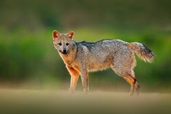 Crab-eating fox, Cerdocyon thous, forest fox, wood fox or Maikong. Wild dog in nature habitat. Face evening portrait. Wildlige, Pa. Ntanal, Brazil royalty free stock photo