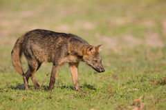 Crab eating Fox on the prowl Royalty Free Stock Photo