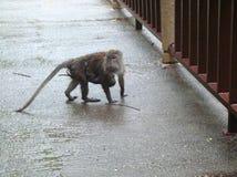 Mother monkey with baby monkey stock photos