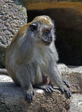 Crab-eating macaque 2 Stock Images