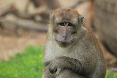 Crab-eating macaque. The detail of upper body of crab-eating macaque Royalty Free Stock Photography