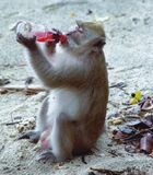 Crab-eating Macaque. A picture of a Crab-eating Macaque drinking a pink drink from a glass bottle Royalty Free Stock Photography