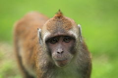Crab-eating macaque Stock Images