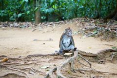 Crab-eating macaque Royalty Free Stock Photography
