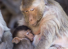 Crab eating macaque and baby Stock Images