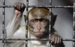 Crab-eating Macaque behind bars. Crab-eating Macaque normally lives in Southeast Asia. This sad-faced one is behind bars. If he can speak, he would say Please Royalty Free Stock Photos